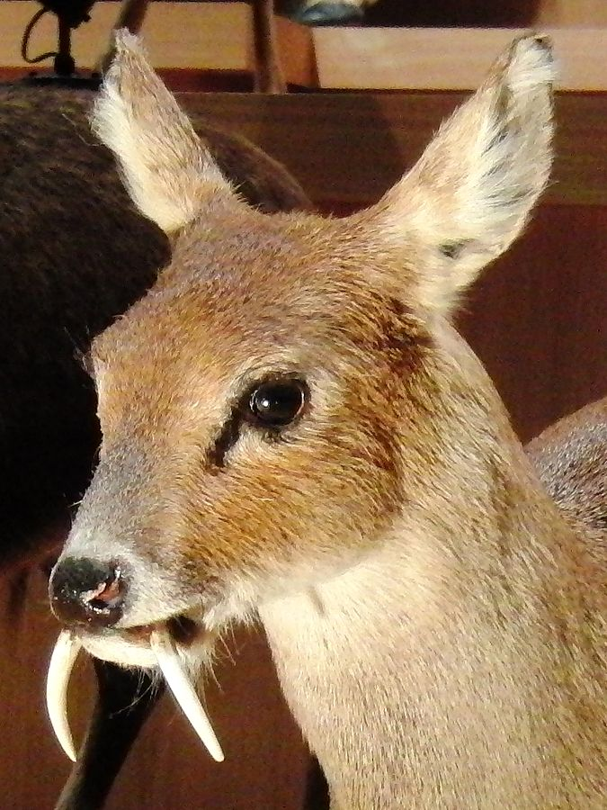 675px-chinese_water_deer_stuffed_specimen_2